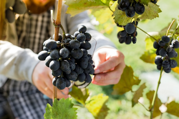 L'uomo raccolto maturo grappolo di uva nera sulla vite. il maschio passa la raccolta della raccolta dell'uva di autunno per la vinificazione in vigna