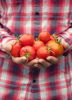 Un contadino tiene in mano un raccolto di pomodori. messa a fuoco selettiva. natura.