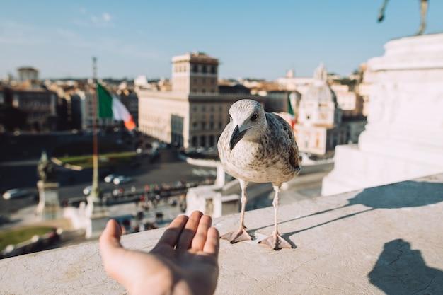 L'uomo nutre il gabbiano vicino a piazza venezia al centro