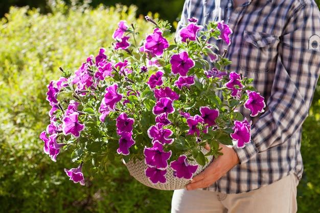 Equipaggi la petunia della tenuta del giardiniere fiorisce in vaso da fiori in giardino
