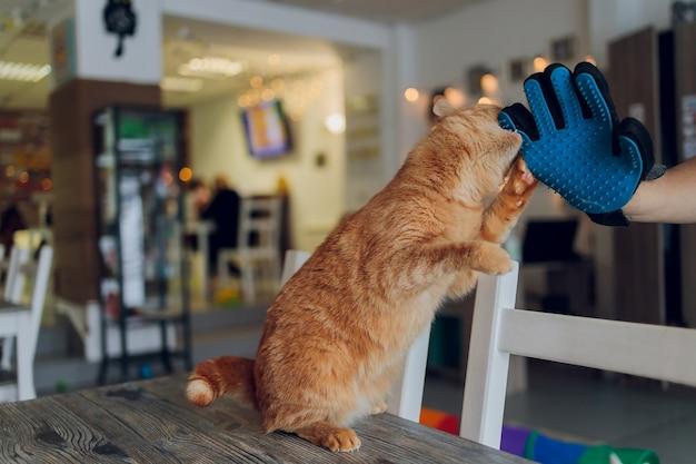 Uomo toelettatura gatto con guanti speciali. cura degli animali.