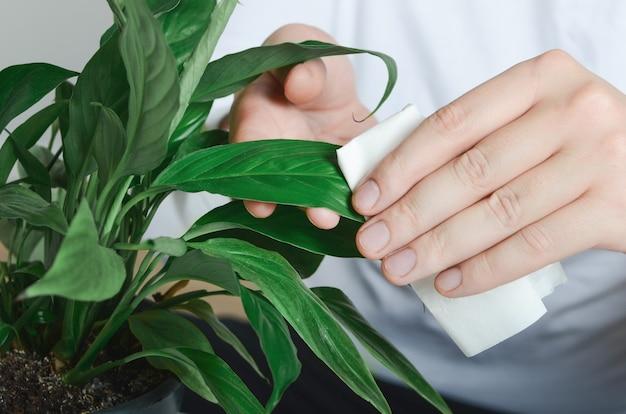 Mani dell'uomo che puliscono la pianta del ficus dal tovagliolo bagnato
