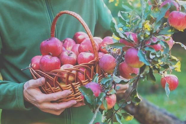 Un uomo che raccoglie un ricco raccolto di mele nel frutteto. un uomo tiene un cesto pieno di mele rosse