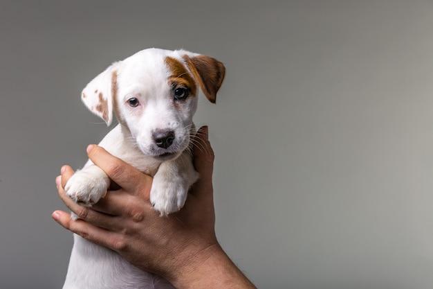 Uomo che tiene il cucciolo carino jack russel nelle mani.