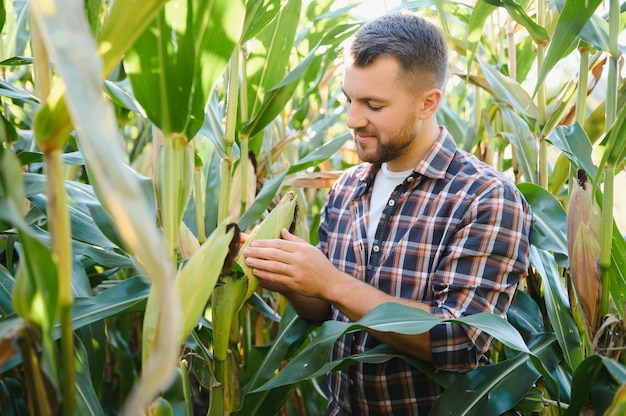 Un uomo ispeziona un campo di mais e cerca parassiti. agricoltore e azienda agricola di successo