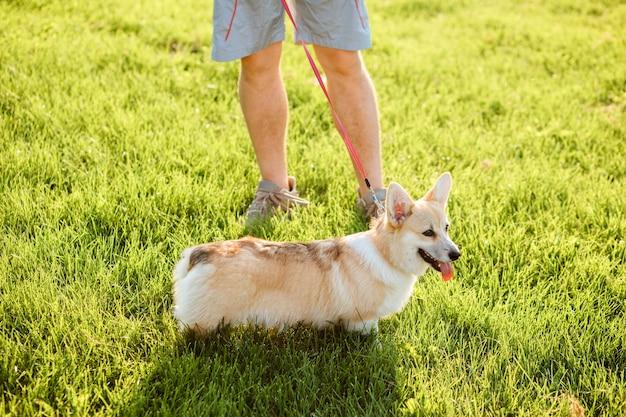 L'uomo sta camminando all'aperto con il suo cane. welsh corgi pembroke su un lish con il suo proprietario sull'erba verde, prato.