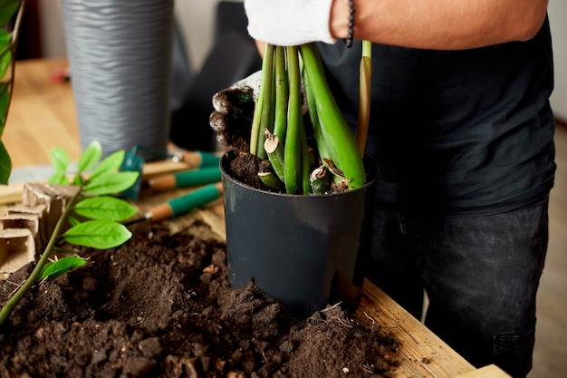 L'uomo ha messo il terreno in vaso nero con zamioculcas sul tavolo di legno, trapianto di piante da appartamento, hobby e tempo libero, giardinaggio domestico.
