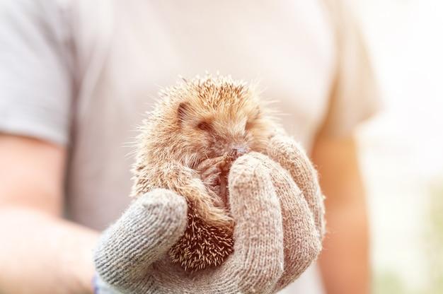 La mano guantata di un uomo tiene un simpatico riccio spinoso selvatico rannicchiato in una palla. salvataggio e cura degli animali, tutela dell'ambiente. concetto rustico e natura. bagliore