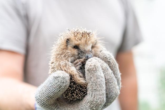 La mano guantata di un uomo tiene un simpatico riccio spinoso selvatico rannicchiato in una palla. salvataggio e cura degli animali, tutela dell'ambiente. concetto rustico e natura