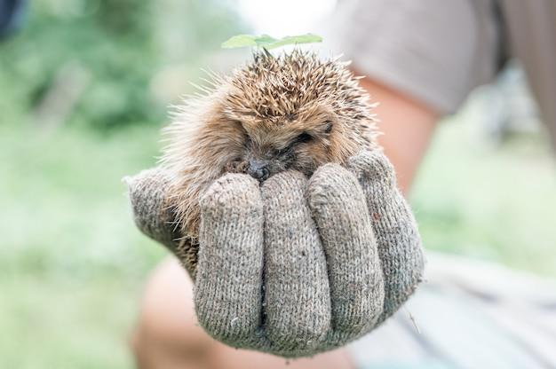 La mano guantata di un uomo tiene un simpatico riccio spinoso selvatico rannicchiato in una palla e con una foglia verde sulla testa. salvataggio e cura degli animali, tutela dell'ambiente. concetto rustico e natura