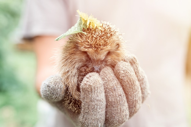 La mano guantata di un uomo tiene un simpatico riccio spinoso selvatico rannicchiato in una palla e con foglie e fiori sulla testa. salvataggio e cura degli animali, tutela dell'ambiente. bagliore