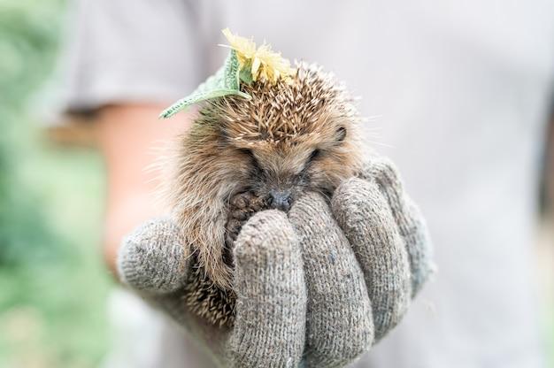La mano guantata di un uomo tiene un simpatico riccio spinoso selvatico rannicchiato in una palla e con foglie e fiori sulla testa. salvataggio e cura degli animali, tutela dell'ambiente