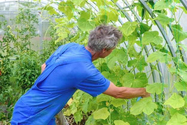 Uomo che spruzza pianta di cetriolo in una serra per malattie