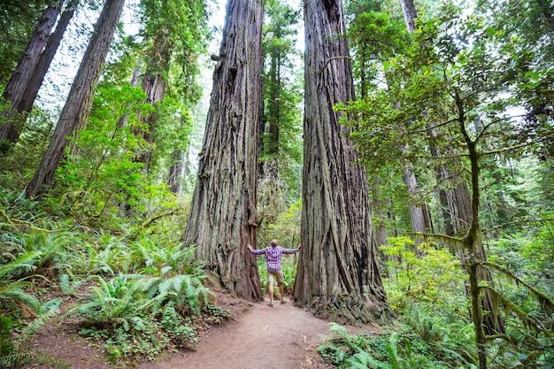 Uomo che cammina sul sentiero tra enormi alberi di sequoia nella foresta della california settentrionale, stati uniti d'america