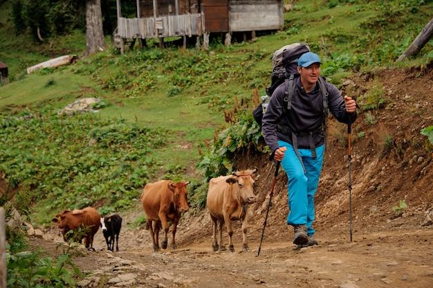 Uomo che cammina su per la collina con zaino da trekking e bastoni con mandria di mucche