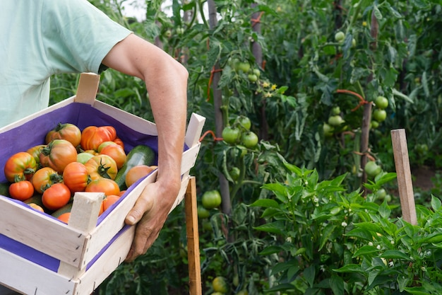 Uomo con scatola di pomodori in giardino.