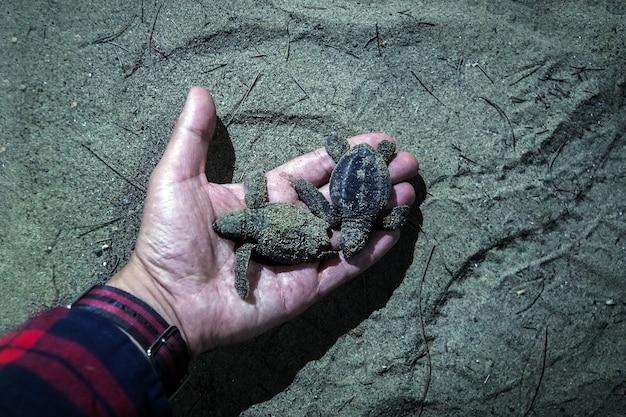 L'uomo con la ciotola di legno in mano prende le tartarughe appena nate su handbrede, chiude le mani con l'incubatoio del santuario delle tartarughe delle tartarughe situato sulla spiaggia. piccole tartarughe nella mano della notte