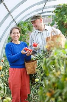 Uomo e donna in una serra con un raccolto di pomodori