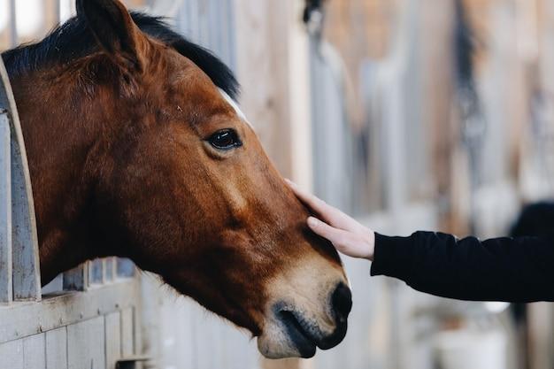 Uomo o donna accarezzando un cavallo in piedi nel recinto in fattoria. il concetto di relazioni uomo-natura. cura degli animali. cavallo holsteiner nella stalla. mani di umani sulla testa di cavallo.