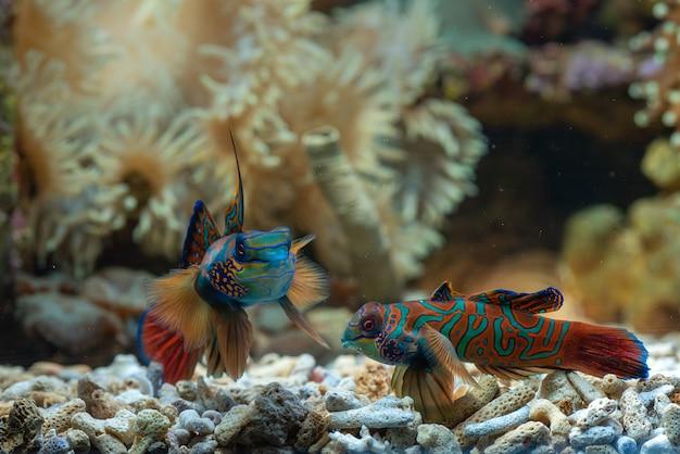 Pesce mandarino con corallo