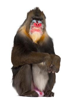 Mandrillo seduto e smorfie, mandrillus sphinx, 22 anni, primate della famiglia delle scimmie del vecchio mondo contro uno spazio bianco