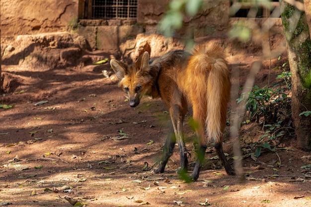Lupo dalla criniera (chrysocyon brachyurus) che cammina nello zoo.