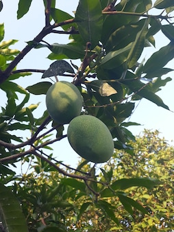 Manggo frutta