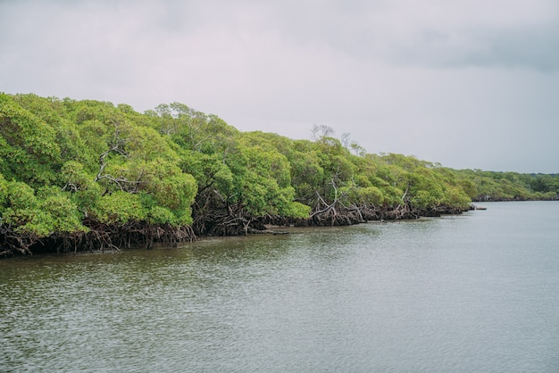 Foresta di mangrovie, fogliame verde sopra la linea di galleggiamento e radici con vita marina sottomarina, mare brasiliano