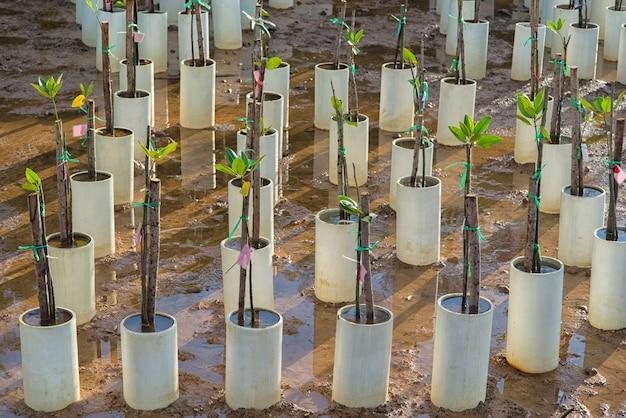 Foresta della mangrovia che cresce a rayong, tailandia