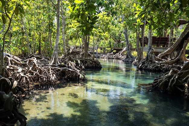 Foresta di mangrovie a krabi, in thailandia