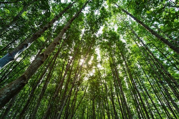 Foreste della mangrovia con le foglie verdi in cinghia di tung prong, rayong, tailandia