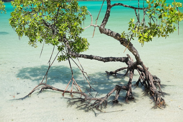 Piante di mangrovie
