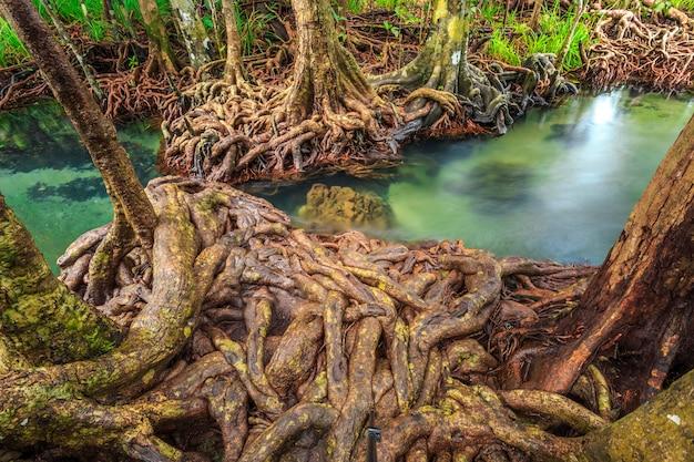 Alberi della mangrovia in una foresta della palude della torba alla provincia di krabi di area del canale del pom di tha, tailandia. srgb color prof