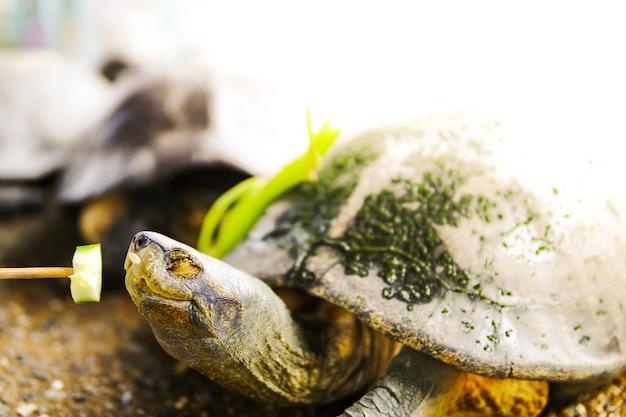 Molte tartarughe asiatiche mangiano frutta