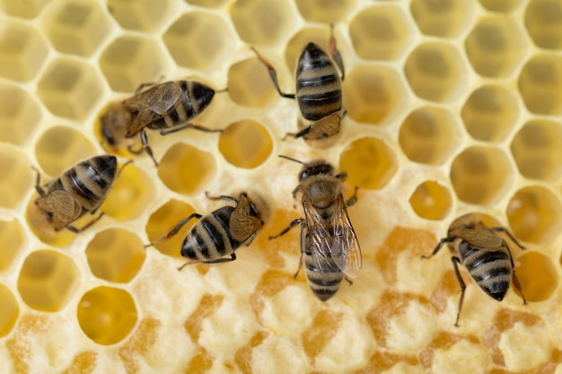 Molte api lavorano sui favi