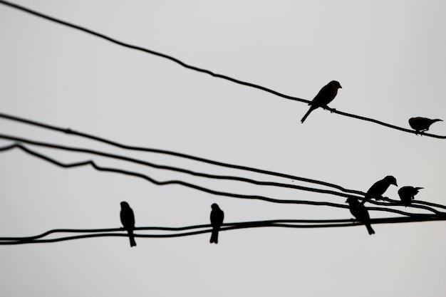 Molti uccelli appollaiati su fili elettrici