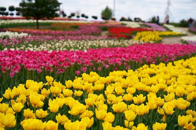 Molti tulipani colorati, diverse varietà di tulipani, fiori primaverili luminosi, immagine di sfondo, messa a fuoco selettiva, bella immagine, fiori per le vacanze, vendita di tulipani, esposizione o progettazione del paesaggio