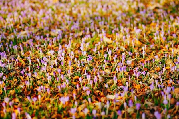 Molti crochi in autunno secco lasciano un campo di crochi