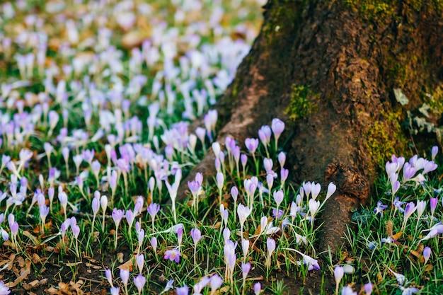 Molti crochi nell'erba sotto l'albero un campo di crochi
