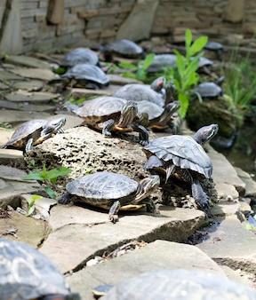 Molte tartarughe decorate riposano sulle rocce vicino al lago. animali
