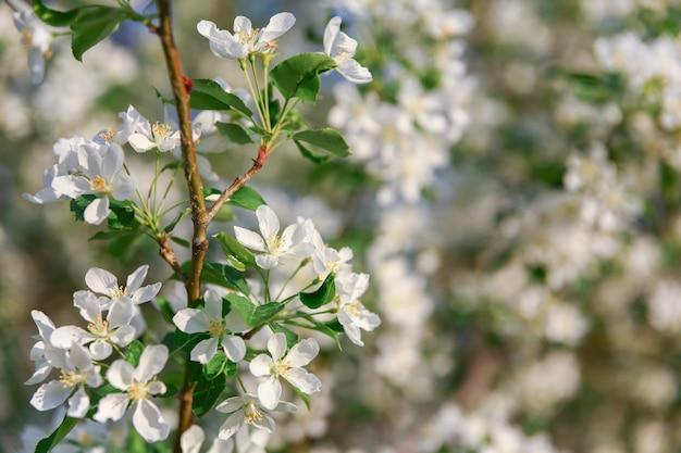 Molti fiori sul ramo di melo in fiore nella soleggiata giornata primaverile