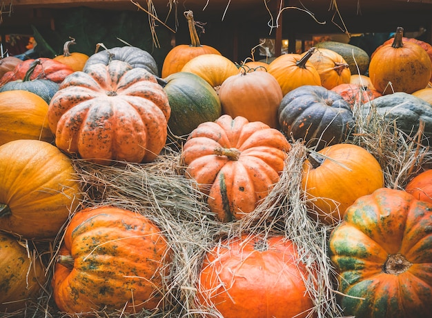 Molte grandi zucche arancioni si trovano nella paglia. raccolta autunnale di zucche preparate per la festa. Foto Premium
