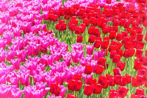 Molti fiori di tulipani rosa sul campo. trama floreale