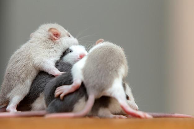 Molti piccoli topi divertenti che si scaldano insieme uno sopra l'altro.