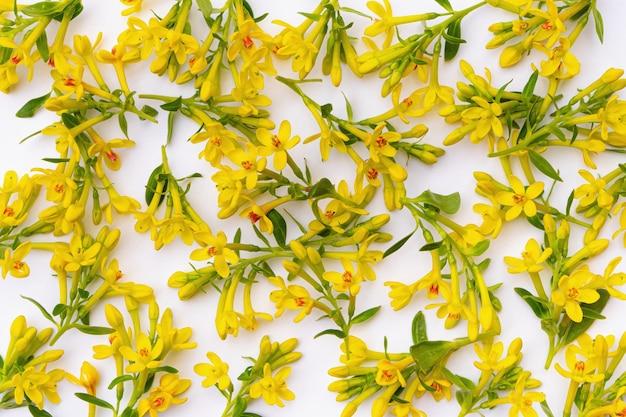 Tanti piccoli ramoscelli con fiori primaverili gialli su sfondo bianco