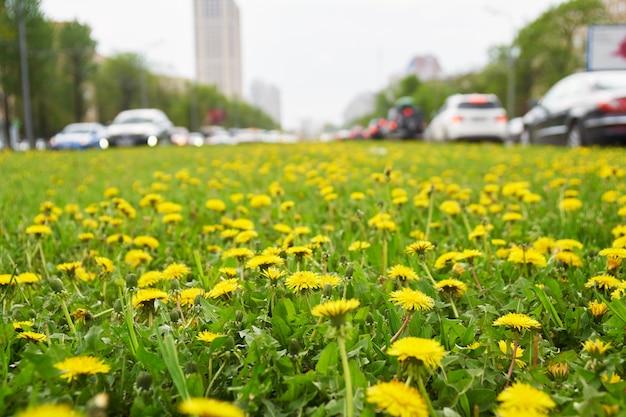 Molti denti di leone gialli crescono sul viale leninsky a mosca in primavera con le auto che percorrono la strada.
