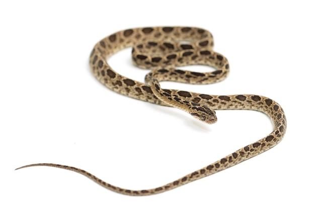 Il serpente gatto manyspotted boiga multomaculata isolato su sfondo bianco