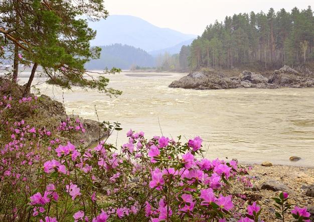 Rapide di manzherok nei monti altai maralnik bush sulla riva del fiume katun