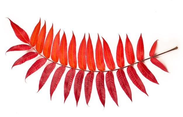 Foglie di autunno dell'acero che cadono a terra