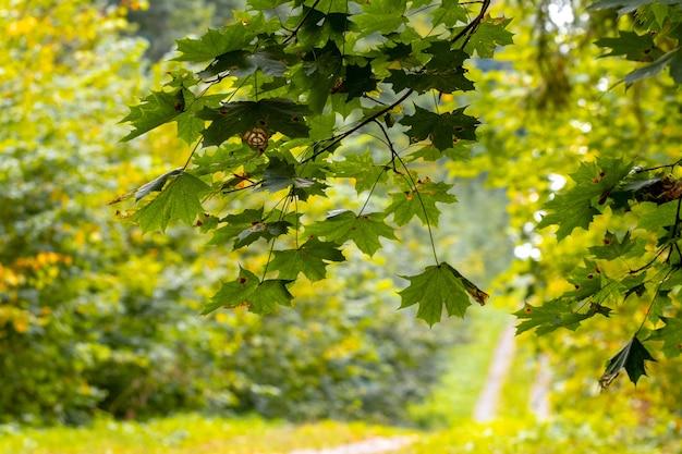 Ramo di acero con foglie su uno sfondo di foresta autunnale colorata, strada nel bosco